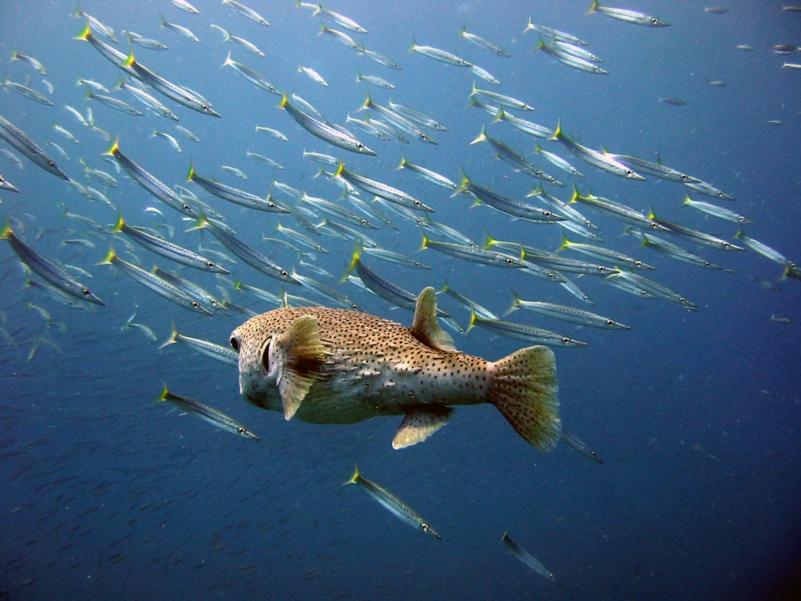 masked-porcupine-with-barracuda.jpg